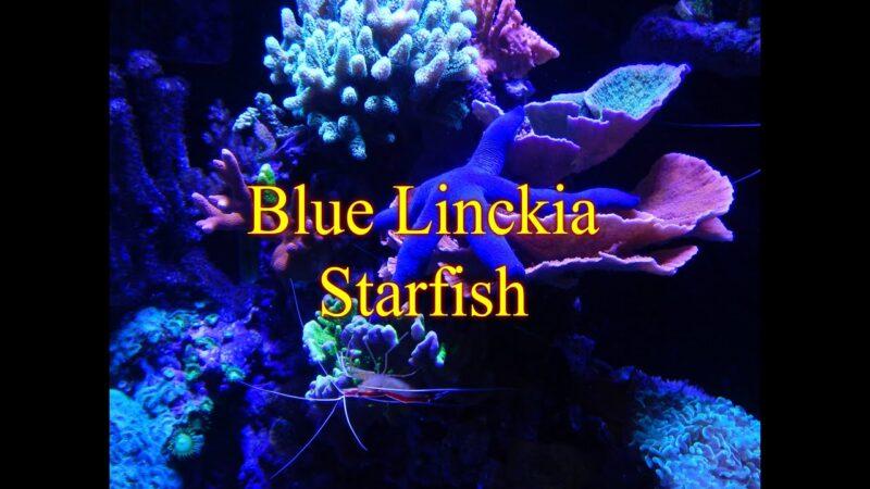 Adding Blue Linckia Starfish   Reef Tank