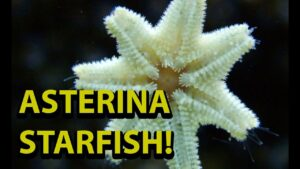 Asterina Starfish - Are They Bad For You Reef Tank ?