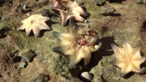 AwA Starfish Carpet Sea Stars & Cushion Stars (Asterina gibbose Patiriella exigua Patiriella calcar)