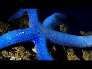 Blue Starfish in big haste - Time lapse movie