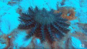 Crown of Thorns Starfish | Coral reef killers