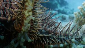 Deadly Starfish Eats Coral: Crown of Thorns Starfish (COTS) crisis