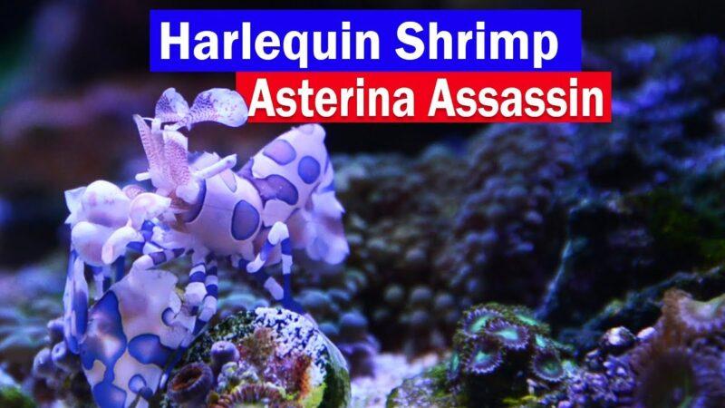 Harlequin Shrimp Asterina Starfish Eating Reef Tank Assassin! Control those little white starfish