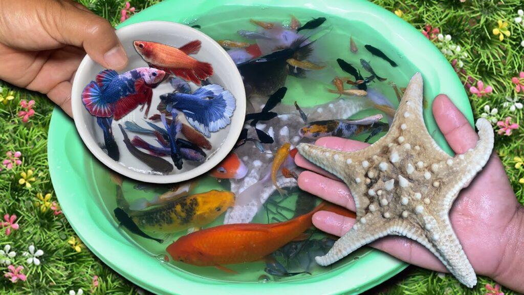 Most beautiful Betta Fish and Real Starfish | Dropping Carp Goldfish Aquarium Fish into water bowl