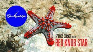 Species Corner - The Magnificent Red Knob Sea Star