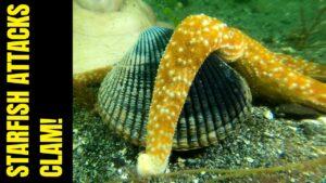 Starfish Attacks Clam | Meet The Starfish | Clam Defeats Starfish