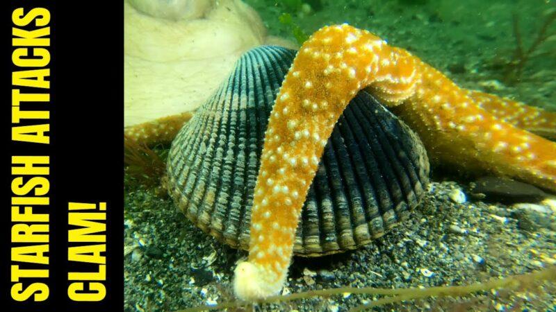 Starfish Attacks Clam   Meet The Starfish   Clam Defeats Starfish