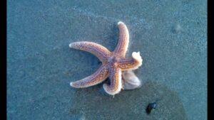 Starfish How does Starfish Born?