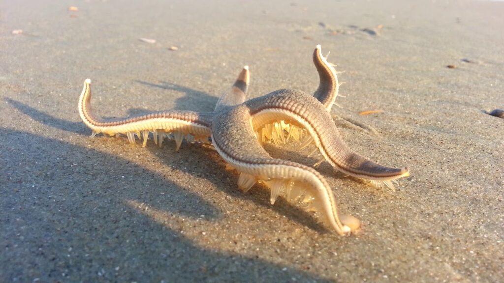 Starfish Walking on the Beach