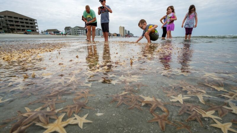 Thousands of starfish wash ashore along Grand Strand beaches