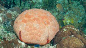 WATCH: This starfish looks like a pillow | Oceana