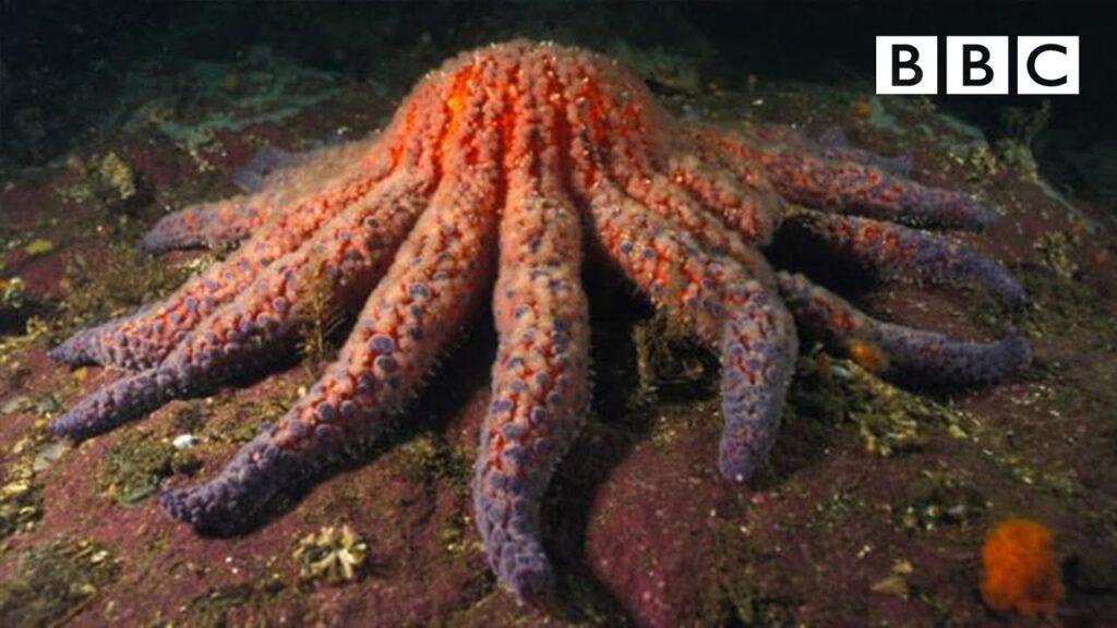 Zombie Starfish | Nature's Weirdest Events – BBC